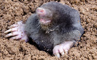 Moles Can Smell in Stereo