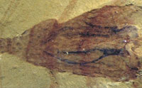 Another Cambrian Discovery Discredits Evolution
