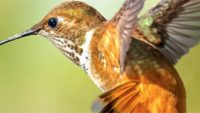Hummingbirds—Avian Acrobats of the Americas