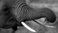 Elephant: The Giant with Specialized Tools