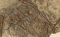 Stunning Bird Fossil Has Bone Tissue
