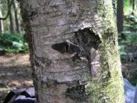 Peppered Moths Again and Again